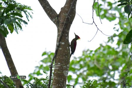 Crimson Winged Woodpecker