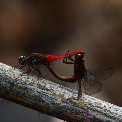 Spine-tufted Skimmer