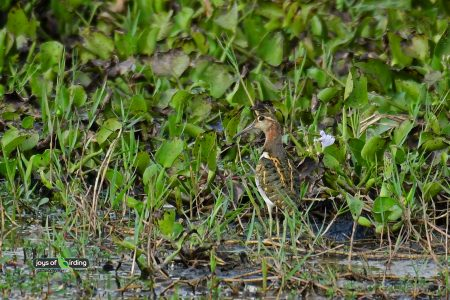 Greater Painted-snipe (male)