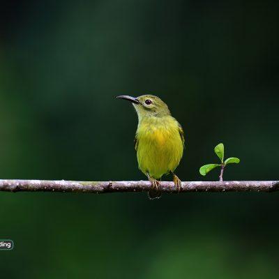 Brown-throated Sunbird (female)