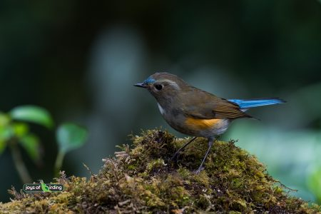 Red-flanked Bluetail (male)