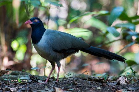 Coral-billed Ground Cuckoo