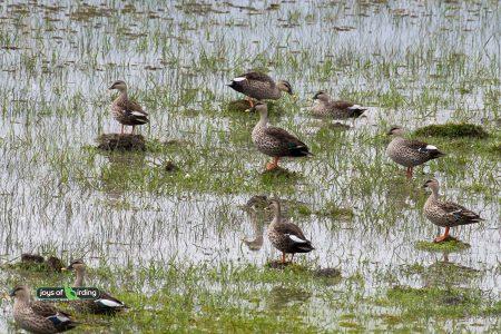 Indian Spot-billed Ducks
