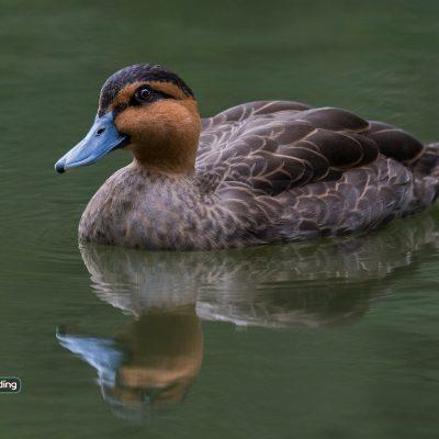 Philippine Duck (female)