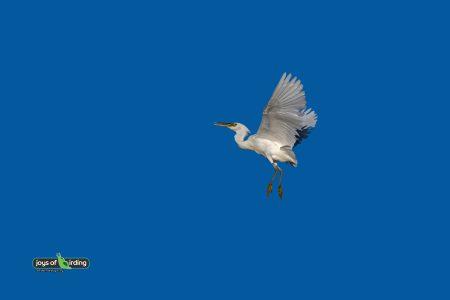 Pacific Reef Heron