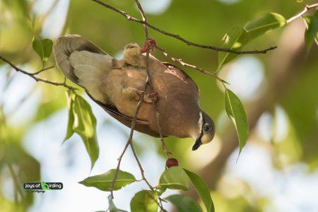 Short-billed Brown-dove