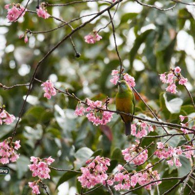 Orange-bellied Leafbird (female)
