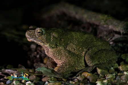 Asian Giant Toad