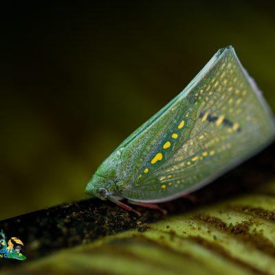 Leafhopper Sp. # 001