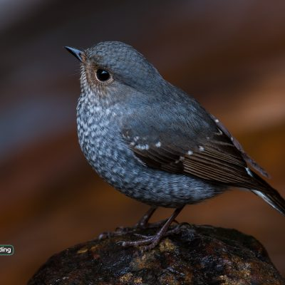 Plumbeous Redstart (female)