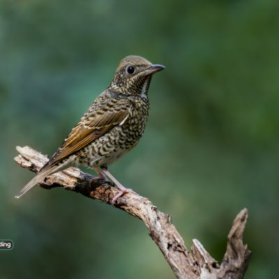 White-throated Rock Thrush (female)