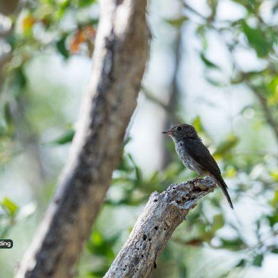 Dark-sided Flycatcher