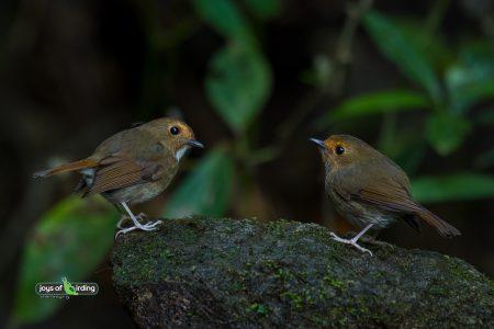 Rufous-browed Flycatchers
